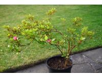 Large Pink Azalea in pot for garden