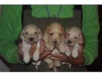 Beautiful cocker poo pups