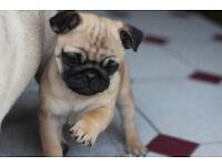 1 adorable pug puppy left for sale. rare colour