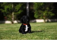 F2 Affiliated Cockapoo puppies for sale PRA and FN hereditary clear