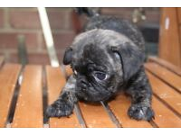 3/4 Pug puppy's ready now