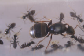 Live queen ants with 5-10 workers