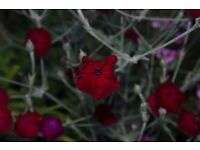 lychnis rose campion red flower hardy perennial plant