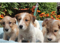 GENUINE ROUGH HAIRED JACK RUSSELL PUPPIES