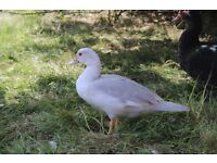 Missing Muscovy white duck