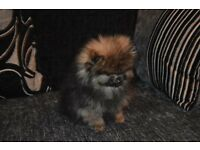 KC Registered Pomeranian puppies