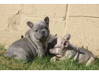 Stunning French Bulldogs