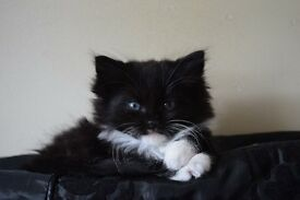Female Black and White Fluffy Kitten for Sale