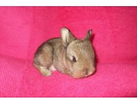 baby netherland dwarfs for sale