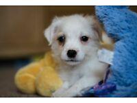 4 perfect little jackapoo pups