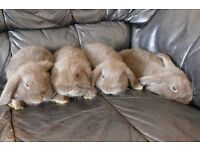 Chocolate Mini Lop Bunnies 9wk old very tame and friendly