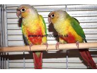 Conure parrot