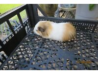 GUINEA PIGS FOR SALE - 5 AVAILABLE - SEE PHOTOS