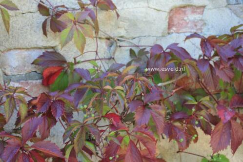 Wilde wingerd,Parthenocissus quinquefolia, felrood in herfst