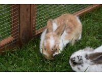 1 dwarf lop rabbit left