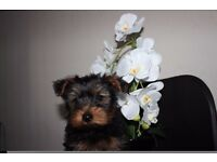 4 yorkshire terrier pups(2boys left)