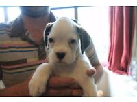 Stunning Boxer Puppies For Sale