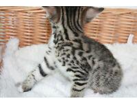 Stunning Bengals kittens