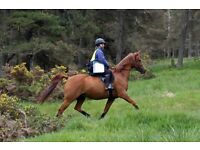 Horse for Share near Aboyne - 15.2hh Good All Rounder