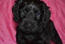 Sprockerpoos (Cockapoo) puppies for sale