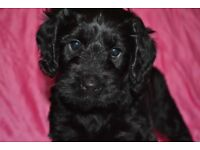 Sprockerpoos (Cockapoo) puppies for sale