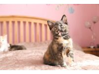 Multi coloured Female kitten is ready for a new loving home short haired in bromley london brown cat