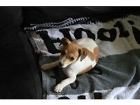 jack russell x puppy for sale