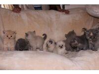 persian chinchilla x british short hair kittens