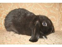 baby mini lop for sale