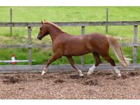 Welsh Sec D gelding looking for adult experienced lightweight Rider
