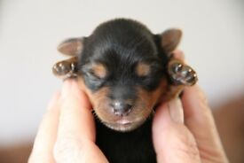 Amazing Yorkie pup's for sale in Norfolk. 2 Girls £550 and 2 Boys £500.