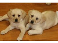 labrador puppies 9 weeks old pedigree