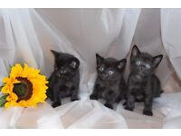 Beautiful kittens for sale_Edinburgh only 3 left 28/8/2016 now only one left 29/8/2016