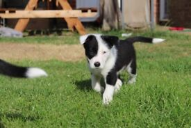 2 Border collie puppies for sale