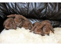 Chocolate mini lop bunnies 10 week old very tame and friendly