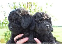 STUNNING F2B MINIATURE GOLDEN DOODLE PUPPIES FOR SALE