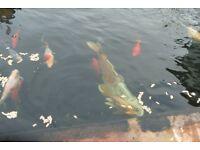 KOI FISH / KOI FILTER /PUMP /UV LIGHT