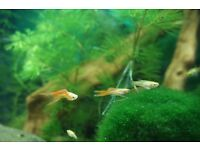 Pretty long tail guppies for sale