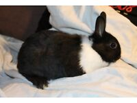 Lovely young dwarf rabbits