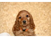 pedigree cocker spaniel puppies in ERSKINE