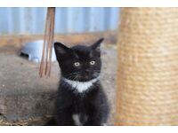 Very cute female 8 week old kitten