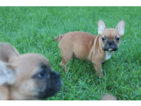 French bulldog puppies 4 sale