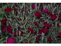 rose campion lychnis cottage garden plant favourite