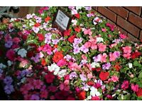 Trays Of 24 Bizzy Lizzy Plants