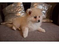 Pomeranian Puppies For Sale 1 White/Cream F 1 Brown M