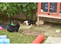 2 male guinea pigs and a female rabbit plus a large 2 storie hutch with rain cover and extras