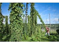 Seasonal farm work - including apple picking, dried hop harvesting and packing.