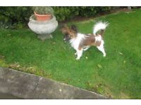 papillon female pup REDUCED FOR QUICK SALE
