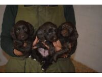 Stunning Chocolate Sproodle Pups