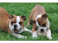KC english bulldog pups for sale